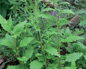 PlantasMedicinales1