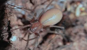ArañaViolinistaNuevaEspecie