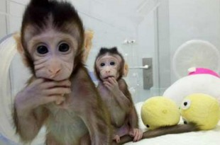 clonacion monos