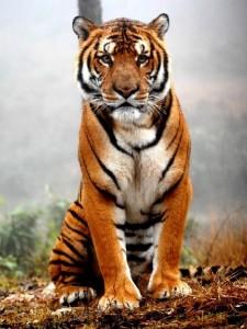 TigreBali