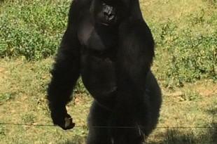 GorilaLouis